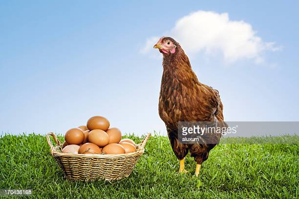 Hen with organic brown eggs piled in a wicker basket