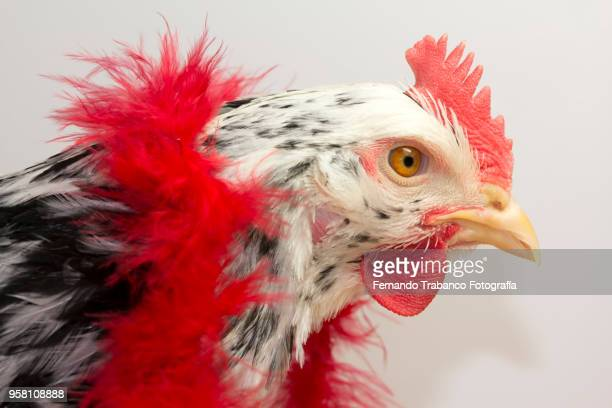 hen with red scarf - funny rooster stock photos and pictures