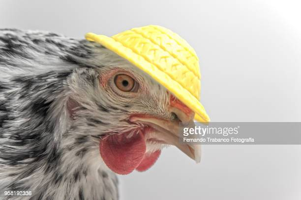 hen with yellow hat - funny rooster stock photos and pictures