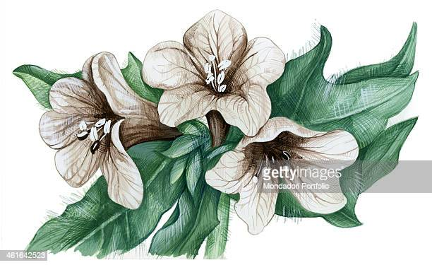 Henbane by Giglioli E 20th Century ink and watercolour on paper Whole artwork view Drawing of the flower of henbane