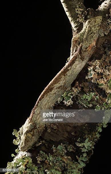 henckle's leaf-tailed gecko - um animal imagens e fotografias de stock