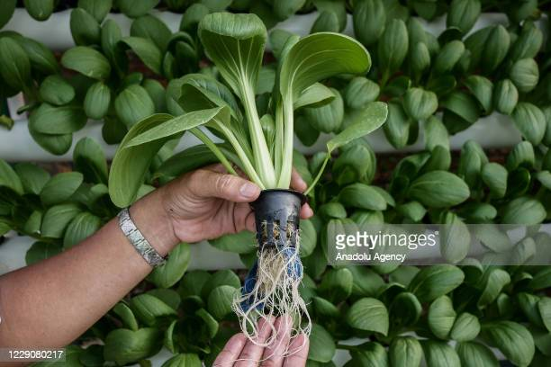 Hendra Kurnia, an urban farmer ambassador of Jakarta's government, campaigns to use hydroponics as a solution to land shortage in Jakarta, Indonesia...