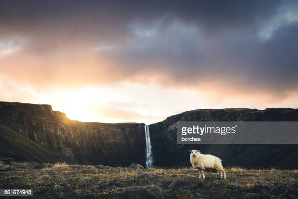 hengifoss waterfall with icelandic sheep - icelandic sheep stock photos and pictures