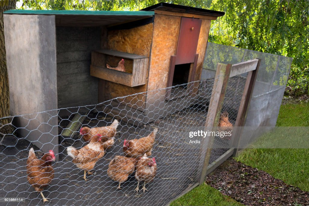 hens in a chicken coop, in a garden.