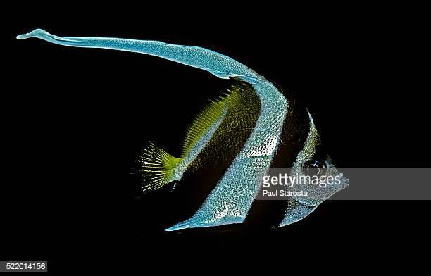 Heniochus acuminatus (longfin bannerfish, coachman; pennant coralfish)