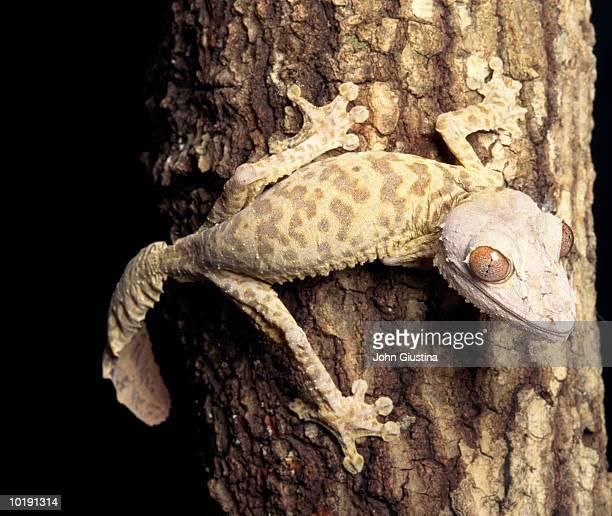 henkels leaf-tail gecko (uroplatus henkeli) on tree trunk - uroplatus fimbriatus foto e immagini stock