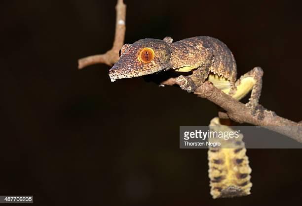 henkel's leaf-tailed gecko or frilled leaf-tail gecko -uroplatus henkeli-, daraina, madagascar - uroplatus fimbriatus foto e immagini stock