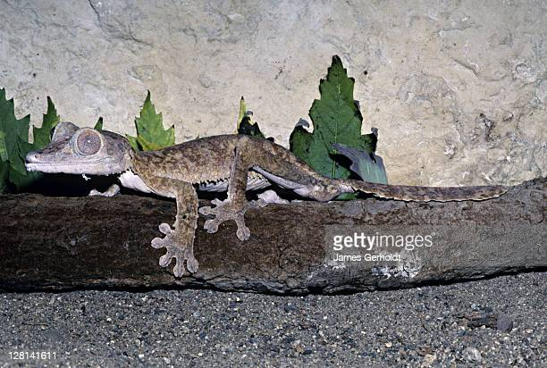 henkels leaf-tailed gecko, uroplatus henkeli, madagascar - uroplatus fimbriatus foto e immagini stock