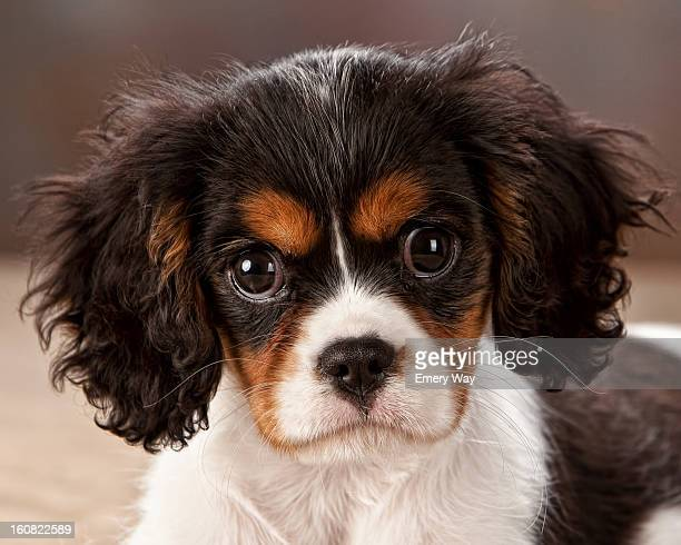 henley, king cavalier. 10 weeks - emery stock photos and pictures