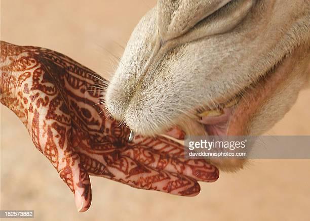 henna hand with camel - nordafrika stock-fotos und bilder