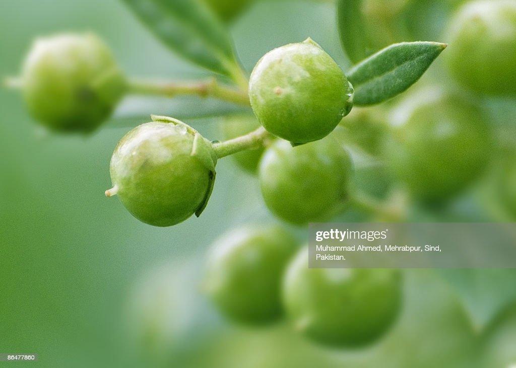 Henna Seeds : Stock Photo