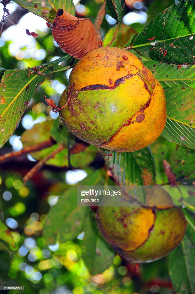 Henna Tree Fruits Stock Photo Getty Images