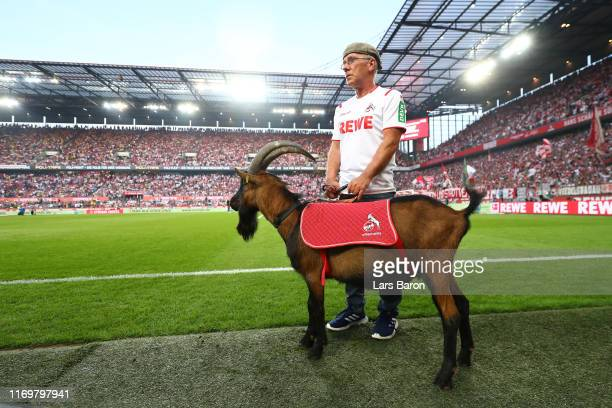 Hennes the 1. FC Koeln mascot is seen prior to the Bundesliga match between 1. FC Koeln and Borussia Dortmund at RheinEnergieStadion on August 23,...