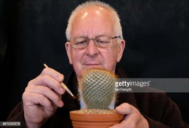 Henry Barber from Pontefract brushes his Cacti as he prepares his display during staging day for the Harrogate Spring Flower Show on April 25 2018 in...