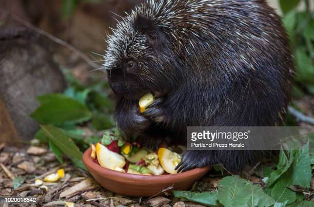 Henry the porcupine eats his lunch at the Center for Wildlife in Cape Neddick on Thursday August 16 2018 Henry arrived at the center in 2014 after...