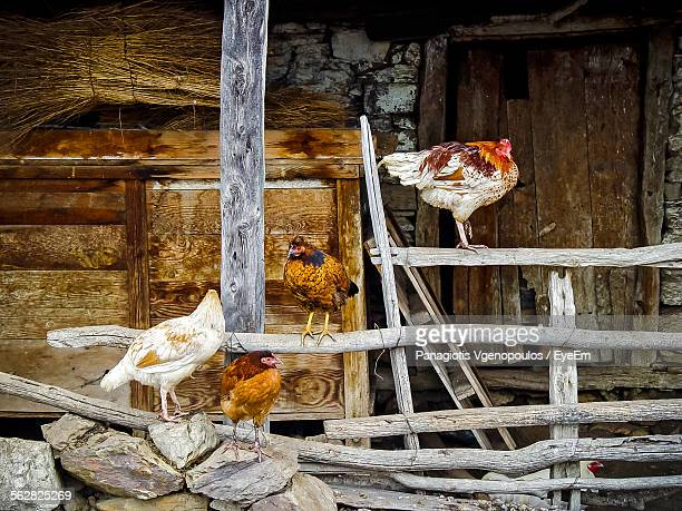 hens against abandoned house - vgenopoulos stock pictures, royalty-free photos & images