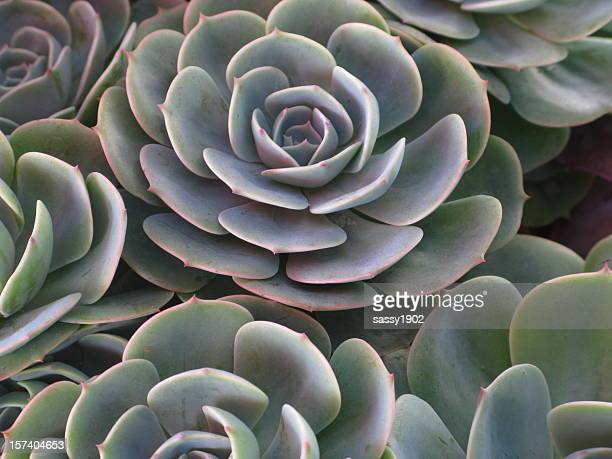 hens and chicks plant full frame - succulent stock photos and pictures