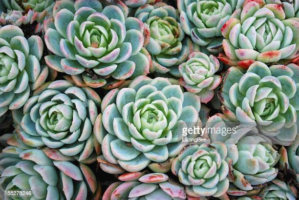 'hens and chicks' succulent - succulent stock pictures, royalty-free photos & images