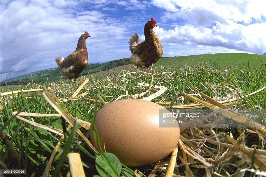 Hens and Eggs : ストックフォト