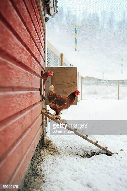 Hens at winter