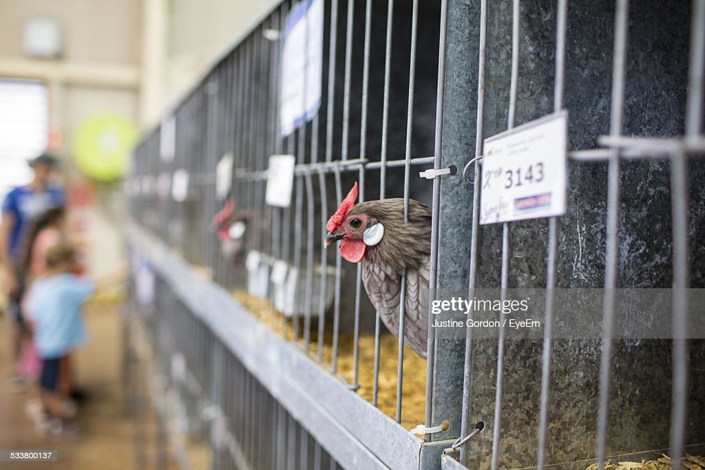 Hens In Cages In Farmhouse : Foto stock