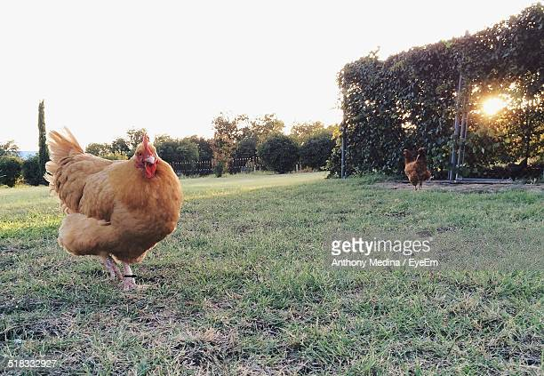Hens In Grassy Field Against Clear Sky