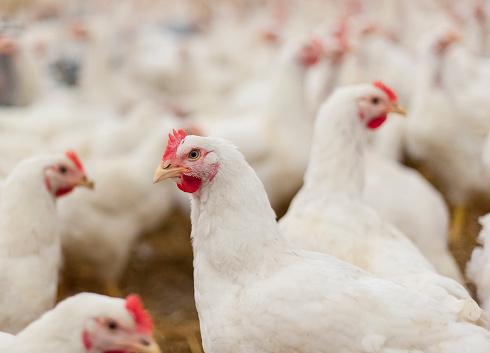 Hens in the henhouse 479986424