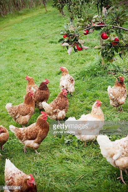 Hens next to an apple tree