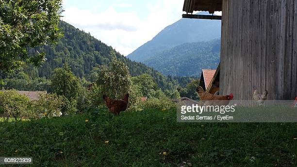 Hens On Grassy Field Against Mountains