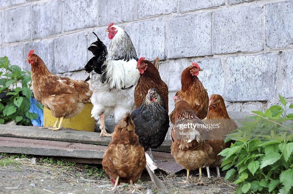Hens : Stock Photo