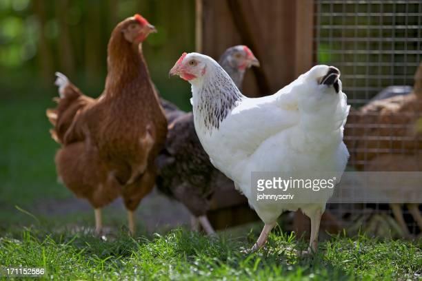 Hens...
