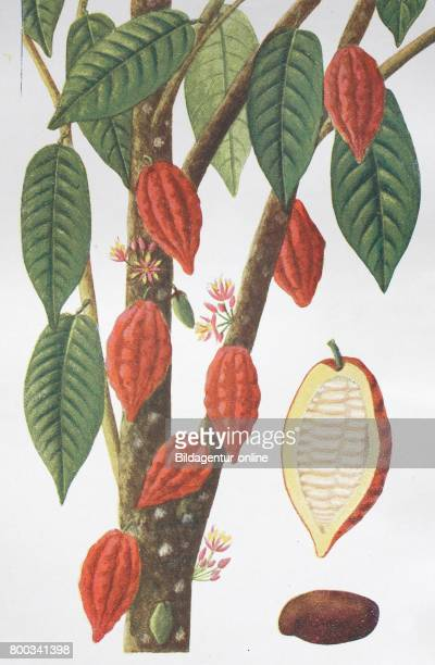 Heobroma cacao also called the cacao tree and the cocoa tree historical illustration 1880