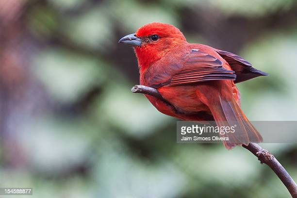 hepatic tanager - belo horizonte stock pictures, royalty-free photos & images