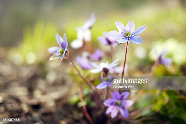 Hepatica nobilis, also called liverwort