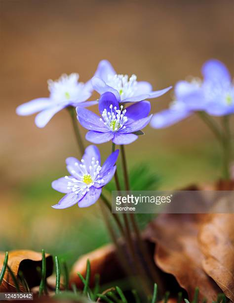 Hepatica Nobilis Close-Up