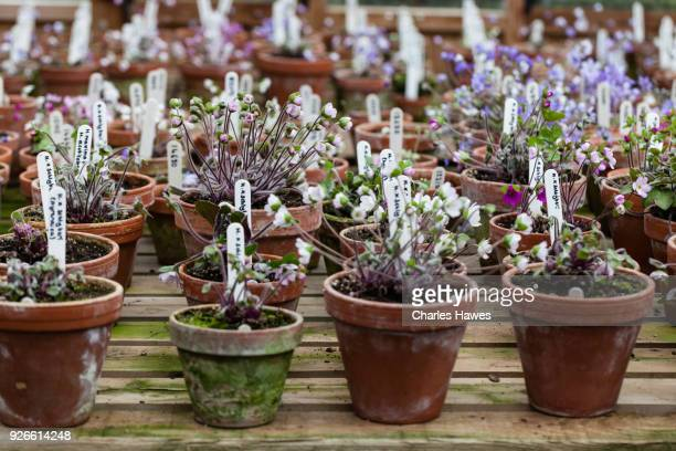 Hepaticas in clay pots in nursery.