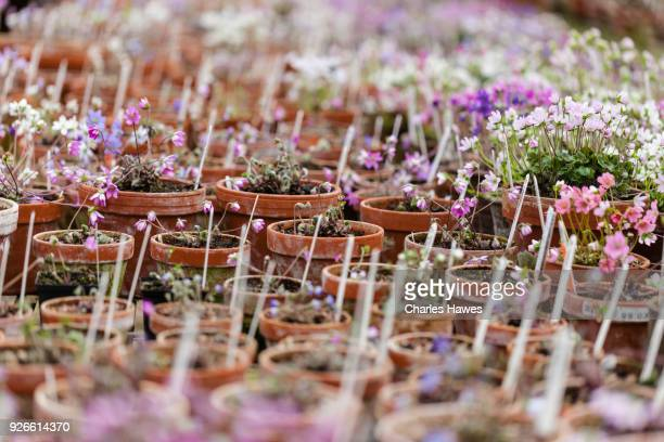 Hepaticas in clay pots in the nursery.
