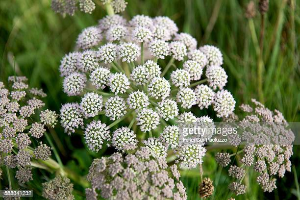 Heracleum flowers at Wick of Highland in Scotland