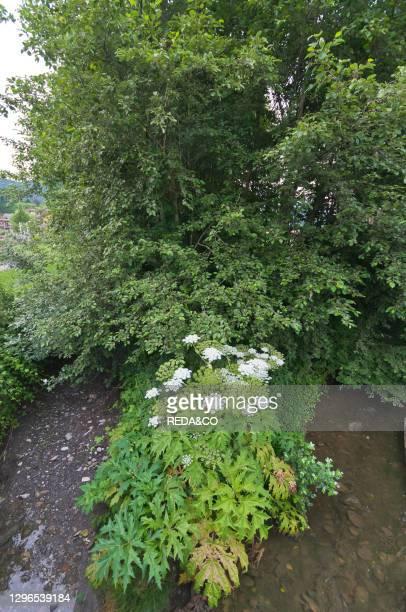 Heracleum mantegazzianum flowers. Clusone. Lombardy. Italy.