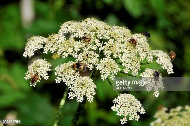 Heracleum sphondylium Common Hogweed