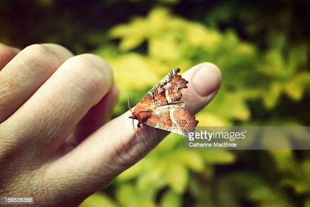 herald moth on finger - catherine macbride stock-fotos und bilder