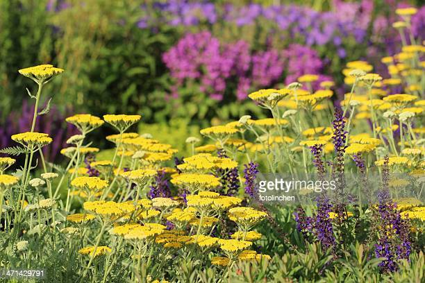 herb and flower garden - catmint stock pictures, royalty-free photos & images