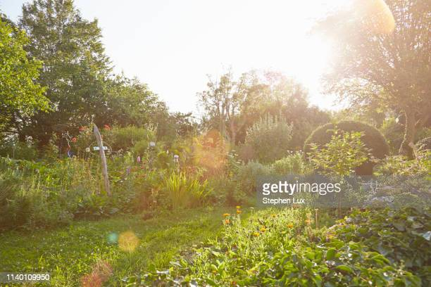 herb garden in sunlight - jardin potager photos et images de collection