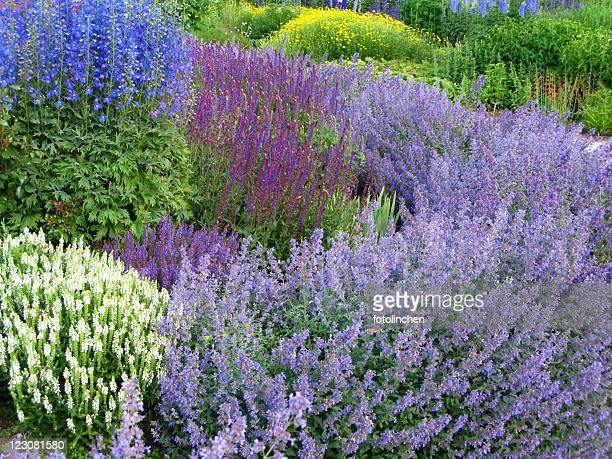 herb garden - catmint stock pictures, royalty-free photos & images