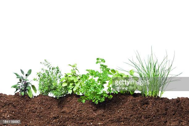 herb garden seedling plants growing in fresh vegetable gardening dirt - vegetable garden stock pictures, royalty-free photos & images