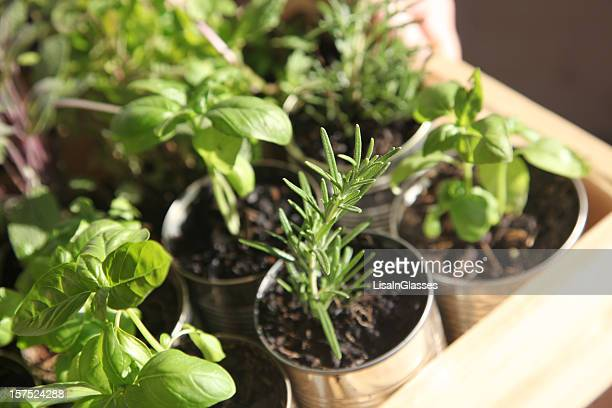 Herb Seedlings