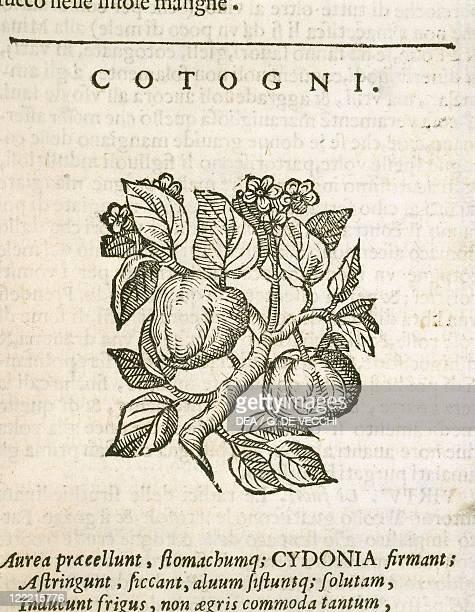 Herbal 16th century Castore Durante Herbario Novo 1585 Plate Cotogni Quince Engraving Published by Gian Giacomo Hertz Venice 1684