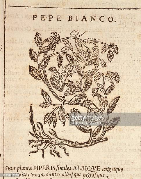 Herbal 16th century Castore Durante Herbario Novo 1585 Plate Pepe bianco White pepper from black pepper plant Engraving Published by Gian Giacomo...