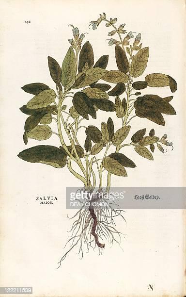Herbal 16th century Leonhart Fuchs De historia stirpium commentarii insignes 1542 Plate Common sage Salvia officinalis Colored engraving
