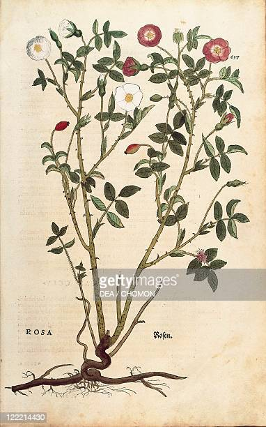 Herbal 16th century Leonhart Fuchs De historia stirpium commentarii insignes 1542 Plate Evergreen rose Colored engraving